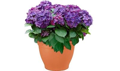 Hortensie »Deep Purple Dance« kaufen