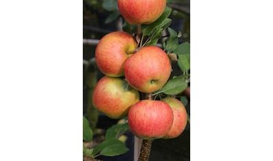 BCM Apfelbaum »Elstar«, 150 cm Lieferhöhe kaufen