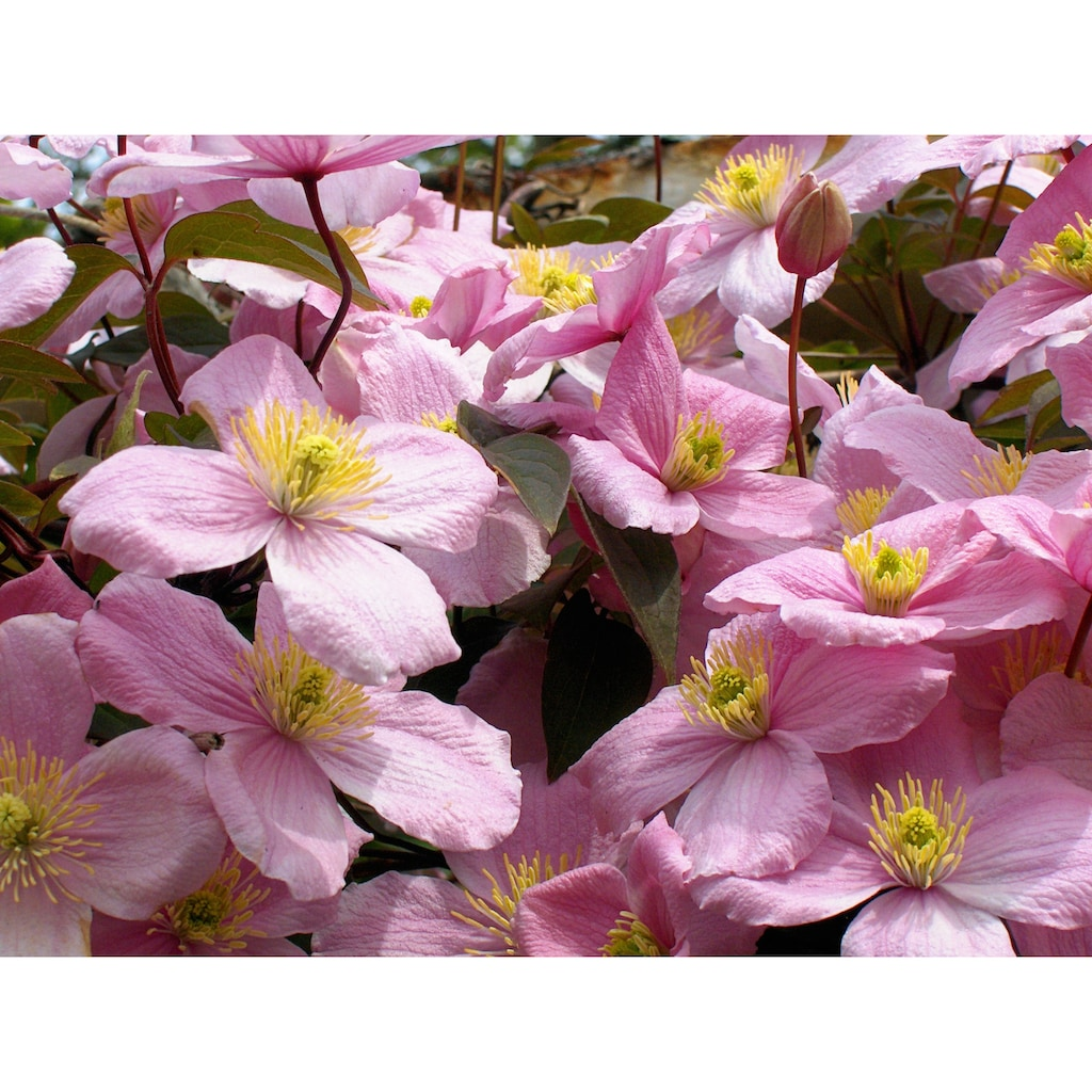 BCM Kletterpflanze »Waldrebe montana 'Tetra Rose'«, (Spar-Set), Lieferhöhe: ca. 60 cm, 3 Pflanzen