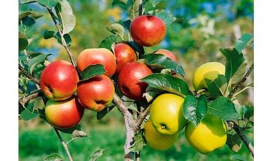 Zwergobstbaum »Apfel Croquella« kaufen