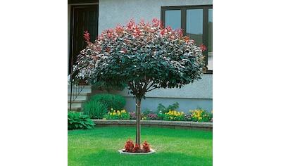 BCM Gehölze »Zwerg-Blut-Pflaume«, Höhe: 80 cm, 1 Pflanze kaufen