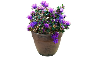 BCM Hecken »Rhododendron Maggie«, Höhe: 20 cm, 1 Pflanze kaufen