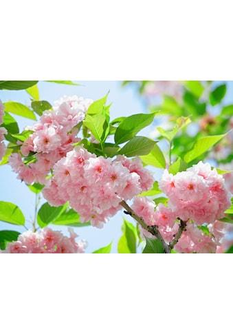 PAPERMOON Fototapete »Sakury Cherry Blossom«, Vlies, in verschiedenen Größen kaufen