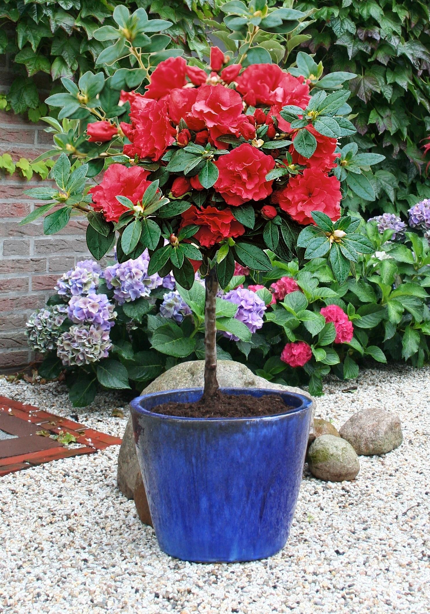 BCM Hecken Rhododendron Rhododendron-Stämmchen rot Heckenpflanzen Pflanzen Garten Balkon