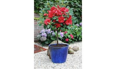 BCM Hecken »Rhododendron Rhododendron-Stämmchen« kaufen