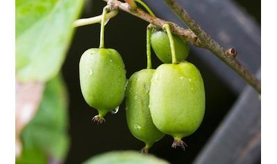 BCM Obstpflanze »Kiwi arguta 'Issai' (zwittrig)«, (Spar-Set), Lieferhöhe: ca. 60 cm, 2... kaufen