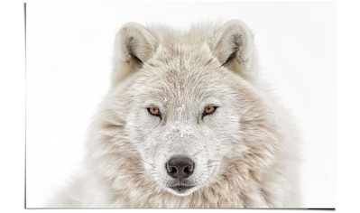 Reinders! Poster »Weisser Wolf«, (1 St.) kaufen