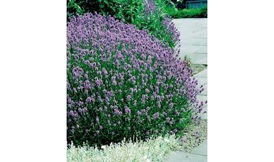 Beet & Balkonpflanze »Lavendel« kaufen