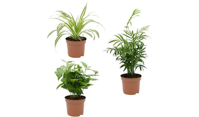 Dominik Zimmerpflanze »Palmen-Set«, Höhe: 15 cm, 3 Pflanzen kaufen