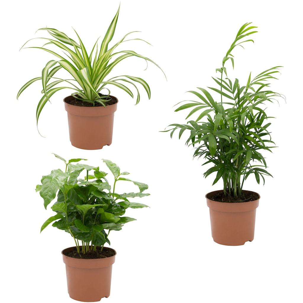 Dominik Zimmerpflanze »Palmen-Set«, Höhe: 15 cm, 3 Pflanzen