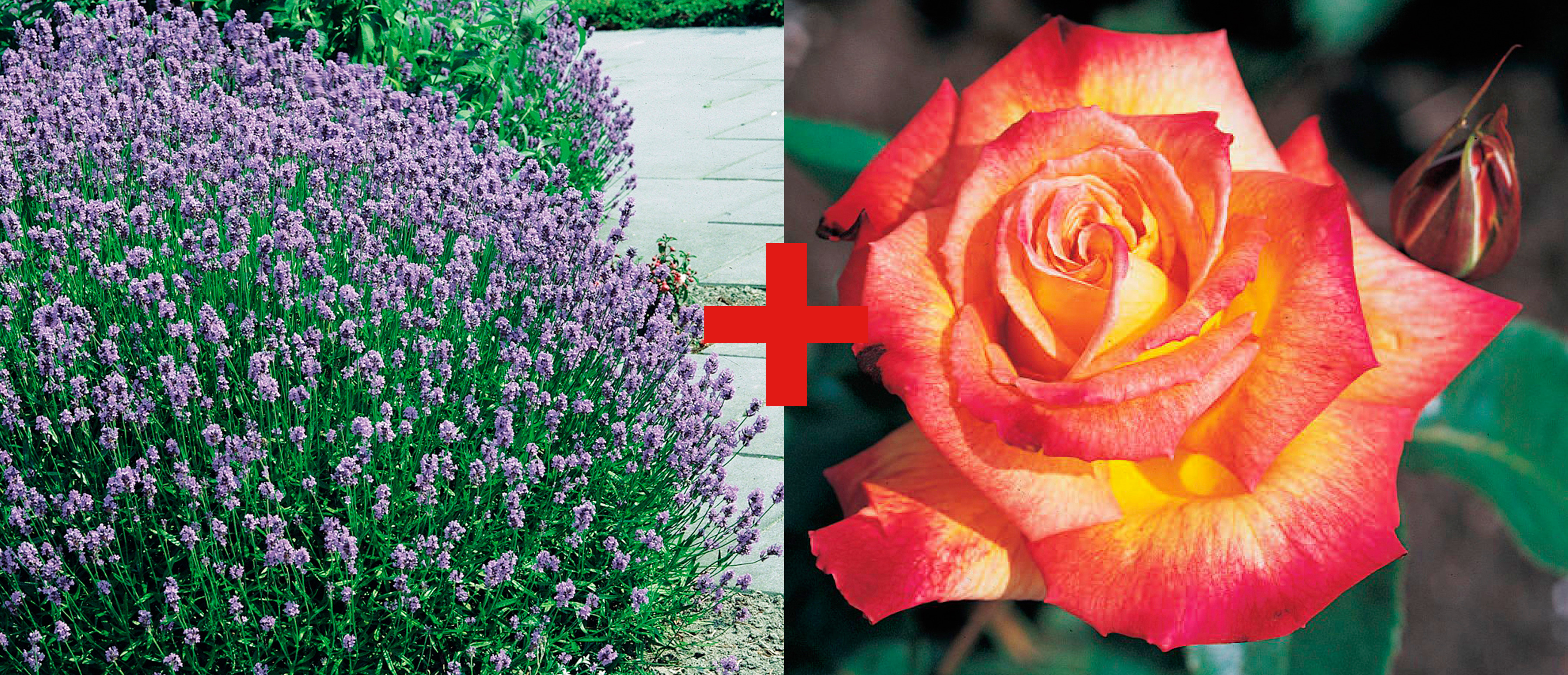 BCM Beetpflanze Rose Rumba & Lavendel bunt Beetpflanzen Pflanzen Garten Balkon