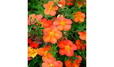 BCM Staude »Fingerstrauch Red Ace«, 3 Pflanzen kaufen