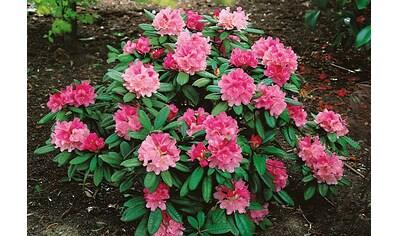 Rhododendron »Herbstzauber« kaufen