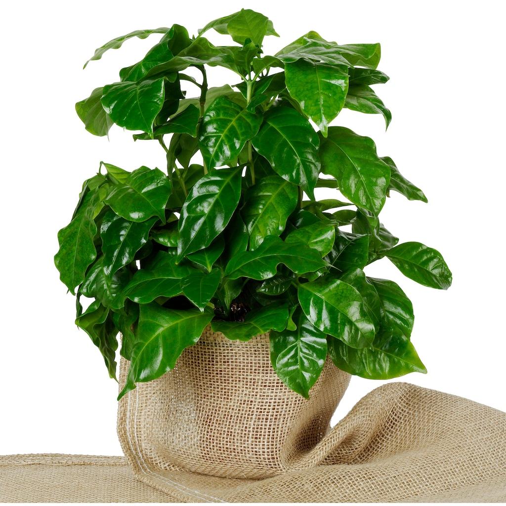 Dominik Zimmerpflanze »Kaffee-Pflanzen«, Höhe: 15 cm, 2 Pflanzen