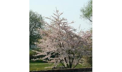 BCM Gehölze »Essbare Blutpflaume Nigra«, Höhe: 60 cm, 1 Pflanze kaufen