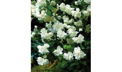 BCM Hecken »Duft Jasmin Karolinka«, Höhe: 30-40 cm, 5 Pflanzen kaufen