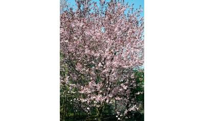 BCM Gehölze »Essbare Blutpflaume Hollywood«, Höhe: 150 cm, 1 Pflanze kaufen