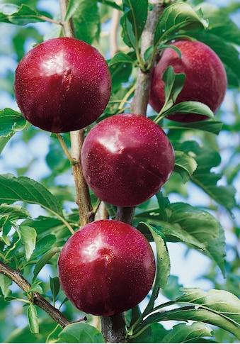 BCM Pflaumenbaum »Santa Rosa«, 100 cm Lieferhöhe kaufen