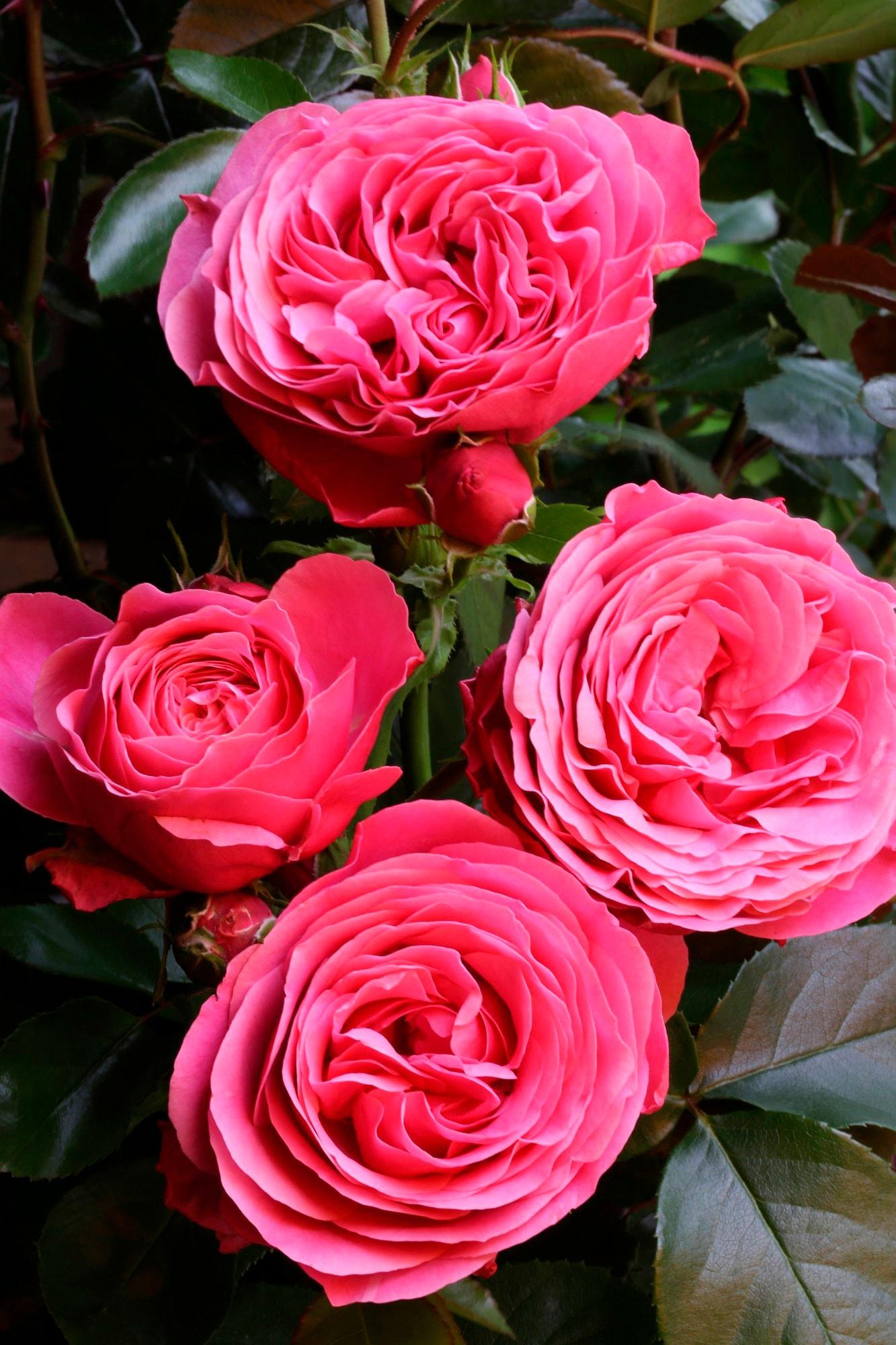 BCM Beetpflanze Rose Leonardo da Vinci rosa Beetpflanzen Pflanzen Garten Balkon
