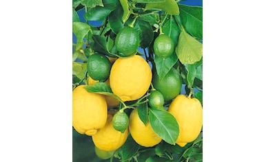 BCM Zitronenbaum kaufen