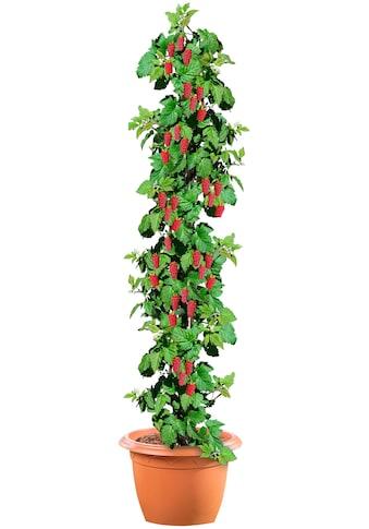 BCM Obstpflanze »Säulenobst Himbeere«, 50 cm Lieferhöhe kaufen