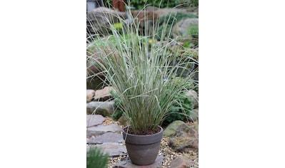 BCM Gräser »Reitgras brachytricha«, Lieferhöhe: ca. 40 cm, 3 Pflanzen kaufen