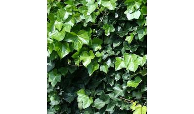 BCM Gehölze »Großblättriger Efeu«, 2 Pflanzen kaufen