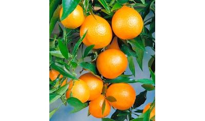 BCM Clementinenbaum kaufen