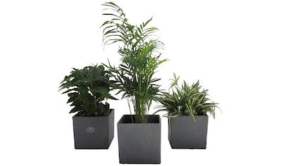 Dominik Zimmerpflanze »Palmen-Set«, Höhe: 15 cm, 3 Pflanzen in Dekotöpfen kaufen