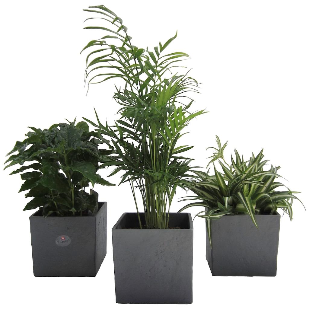 Dominik Zimmerpflanze »Palmen-Set«, Höhe: 15 cm, 3 Pflanzen in Dekotöpfen