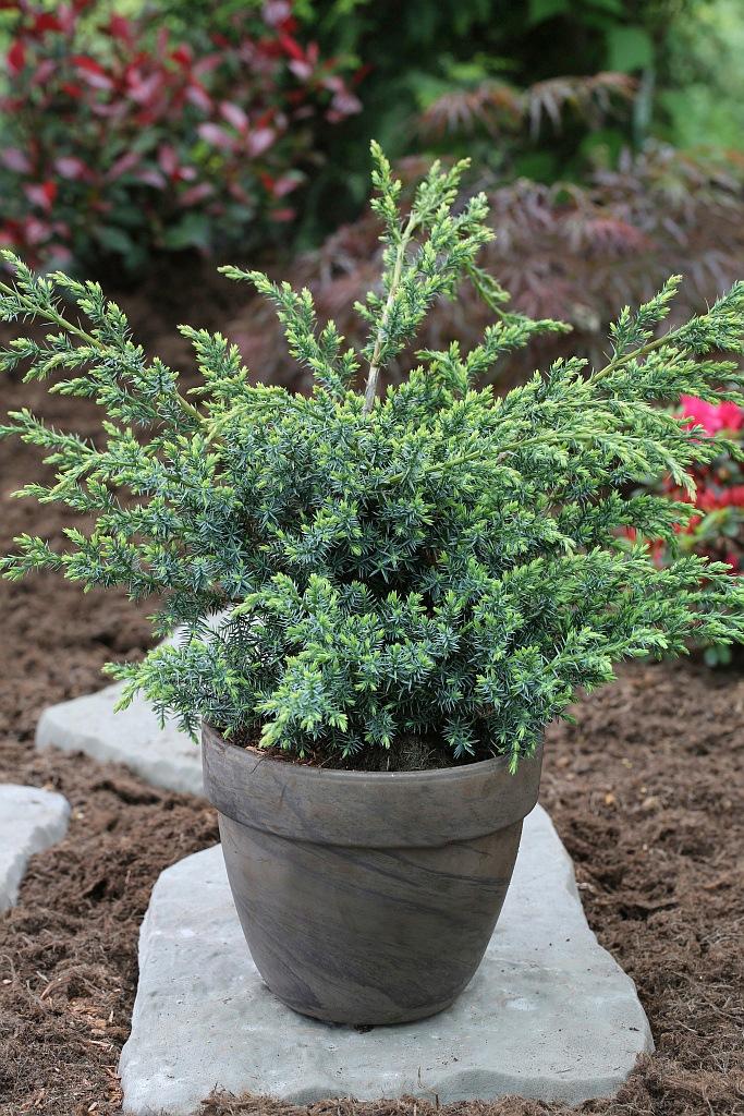 BCM Hecken Wacholder Blue Alps, Höhe: 60-80 cm, 1 Pflanze grün Heckenpflanzen Pflanzen Garten Balkon