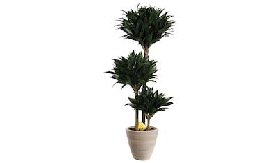 Zimmerpflanze »Drachenbaum Compacta«, 50 cm kaufen