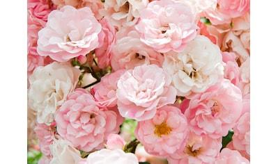 Papermoon Fototapete »Pink Roses« kaufen