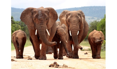 Papermoon Fototapete »African Elephant Herd« kaufen