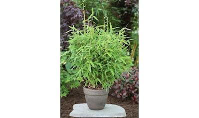 Bambus »Fresh Green«, Höhe: 80 - 100 cm, 1 Pflanze kaufen