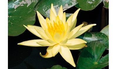 BCM Wasserpflanze »Seerose Sulphurea« kaufen
