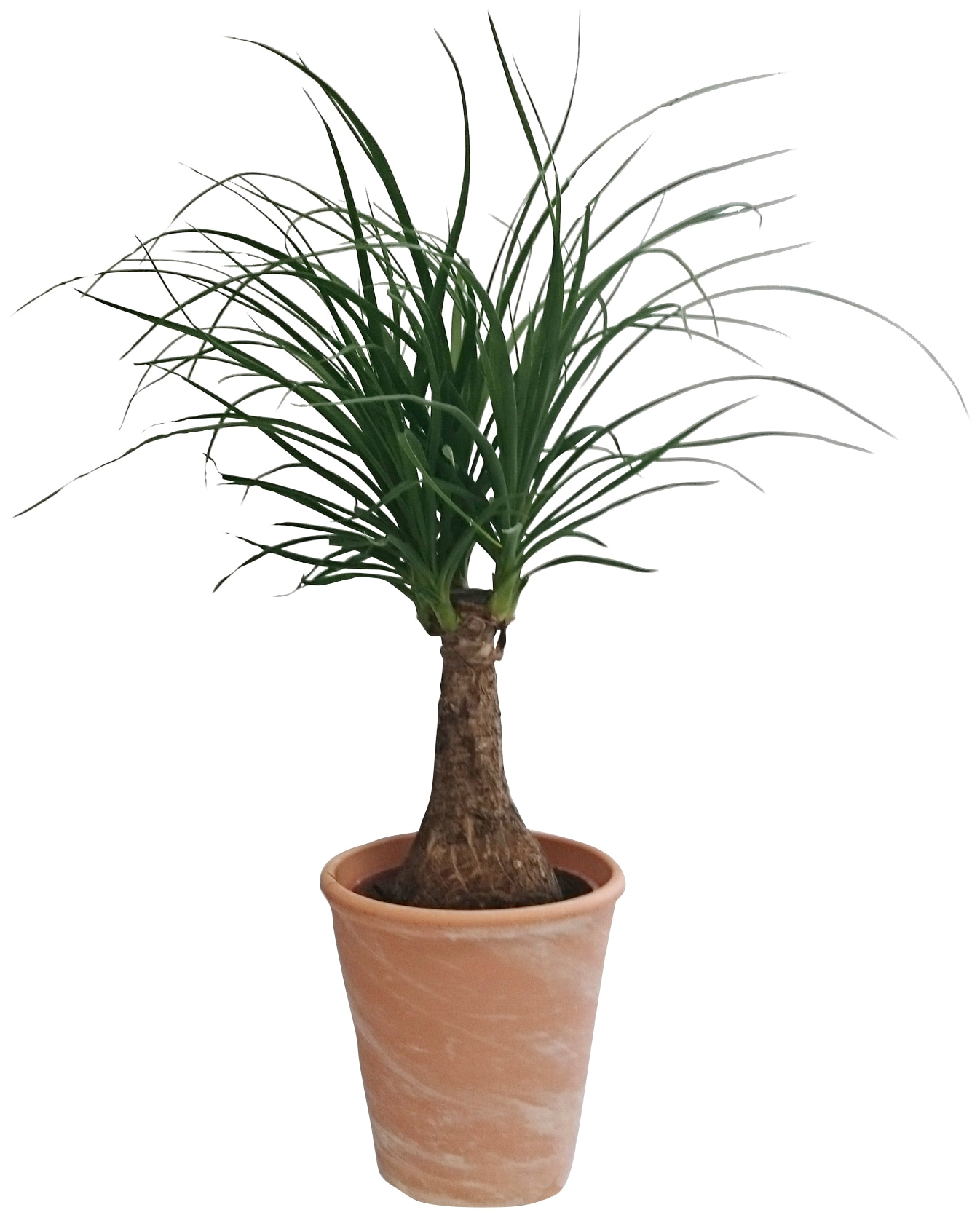 Dominik Zimmerpflanze Elefantenfuß, Höhe: 30 cm, 1 Pflanze im Dekotopf grün Pflanzen Garten Balkon