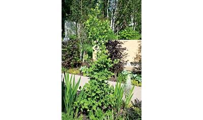 Fächerblattbaum Troll, 60 cm kaufen