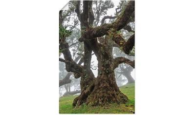 Artland Wandbild »Alter Lorbeerbaum«, Bäume, (1 St.), in vielen Größen & Produktarten... kaufen
