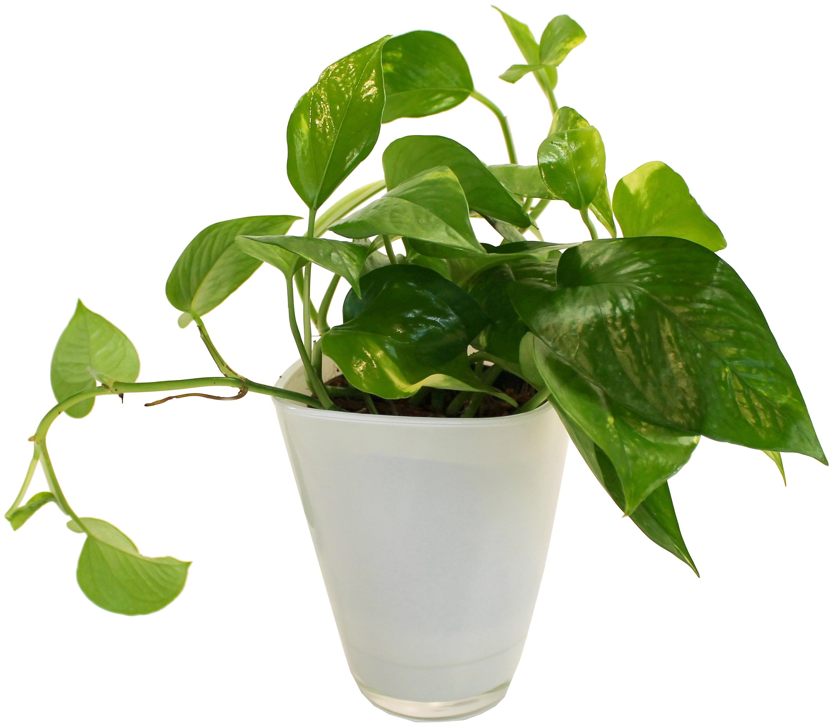 Dominik Zimmerpflanze Efeutute, Höhe: 30 cm, 1 Pflanze im Dekotopf grün Pflanzen Garten Balkon