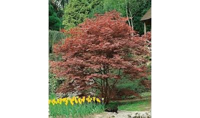 Gehölz »Roter Fächerahorn Atropurpureum« kaufen