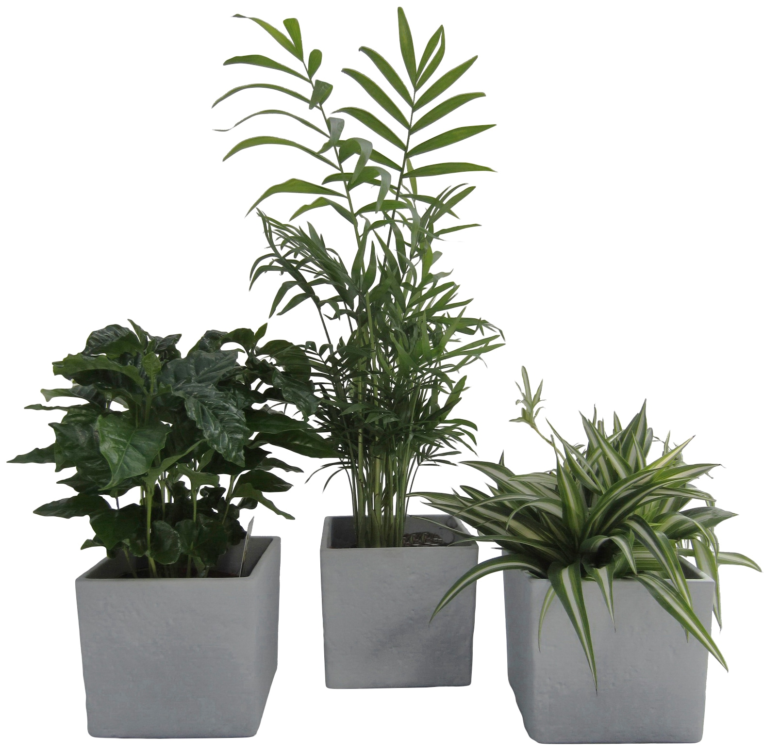 Dominik Zimmerpflanze Palmen-Set, Höhe: 30 cm, 3 Pflanzen in Dekotöpfen grün Zimmerpflanzen Garten Balkon