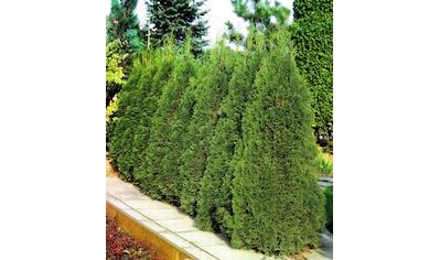 Hecke »Lebensbaum Smaragd« kaufen