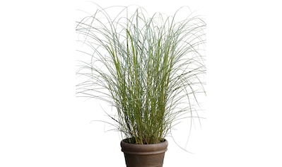 BCM Gräser »Chinaschilf sinensis 'Red Chief'«, Lieferhöhe ca. 60 cm, 1 Pflanze kaufen