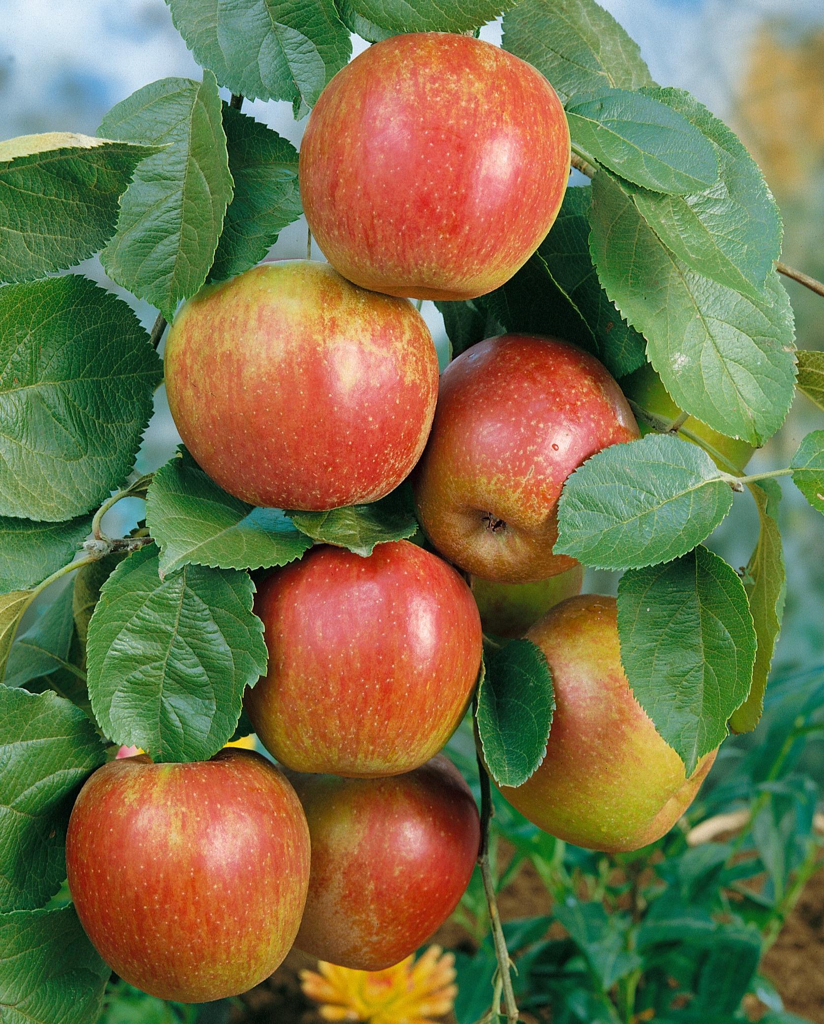 BCM Obstpflanze Roter Boskoop Apfel, 100 cm Lieferhöhe rot Obst Pflanzen Garten Balkon