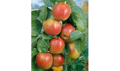 BCM Obstpflanze »Roter Boskoop Apfel«, 100 cm Lieferhöhe kaufen