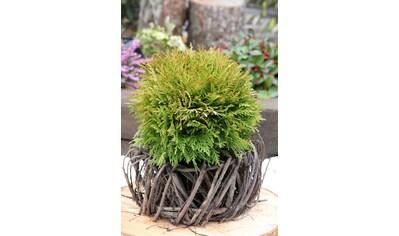 Hecke »Lebensbaum Mirjam«, Höhe: 20 - 25 cm, 6 Pflanzen kaufen
