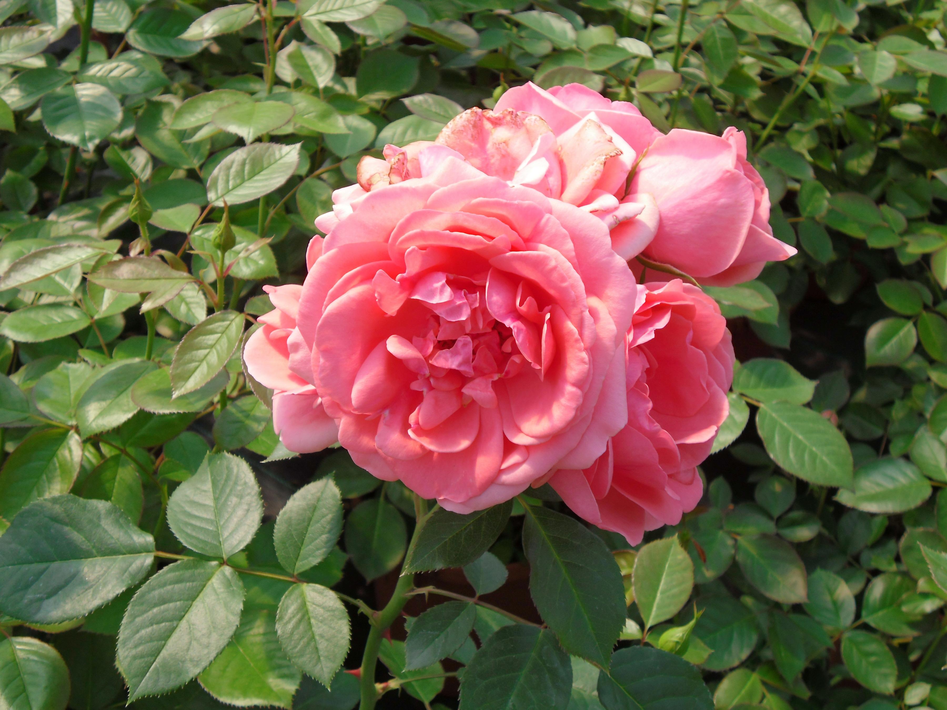 BCM Beetpflanze Rose Kimono orange Beetpflanzen Pflanzen Garten Balkon