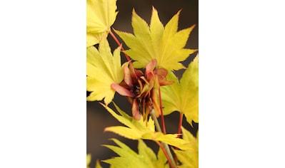 BCM Gehölze »Japanischer Goldahorn Aureum« kaufen