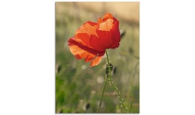 Artland Glasbild »Mohnblume«, Blumen, (1 St.) kaufen